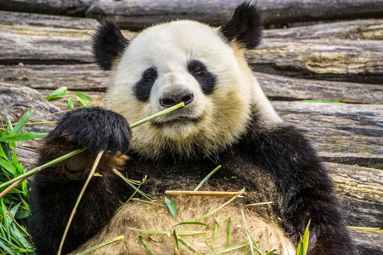 Pandabären beim fressen